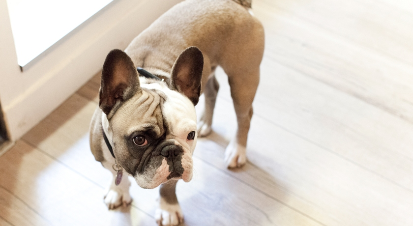 Bouledogue français, French Bulledog, The French Dilettante