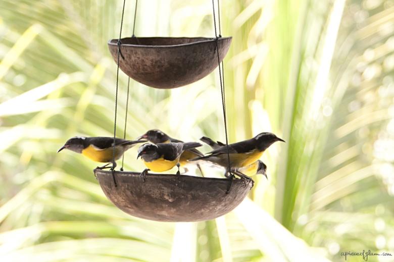 Oiseaux sucriers des Antilles