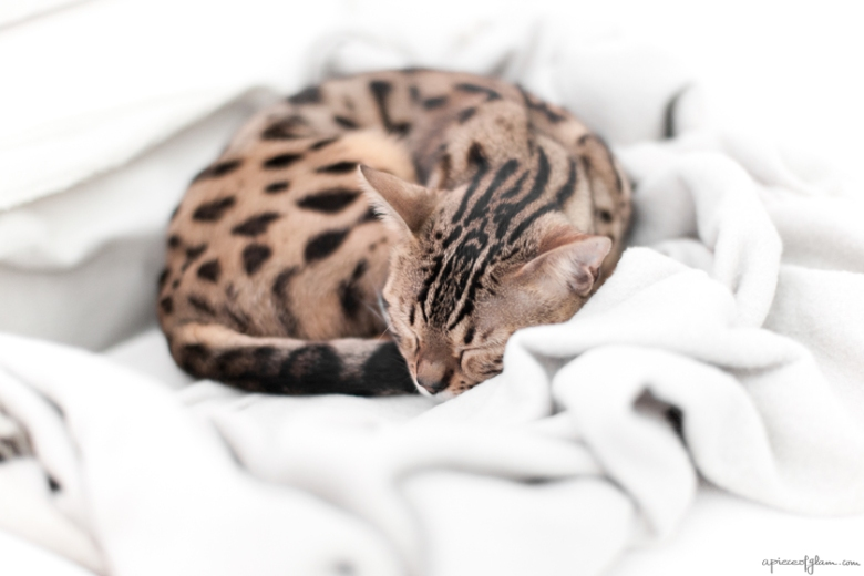 Chat Bengal, The French Dilettante